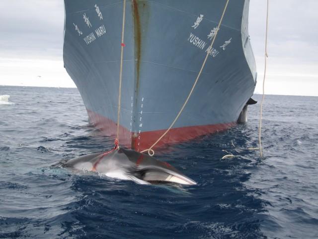 Η Ιαπωνία ξεκινά από την 1η Δεκεμβρίου εκ νέου τη φαλαινοθηρία