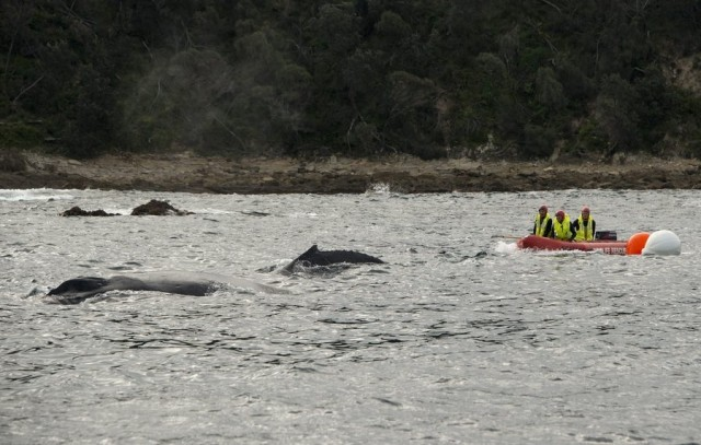 Συνεχίζεται το κυνήγι φαλαινών στο νησιωτικό σύμπλεγμα των Φερόων Νήσων
