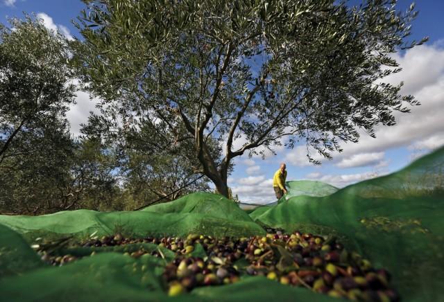Οι εξαγωγές ισπανικού ελαιολάδου συρρικνώνονται