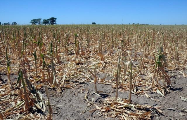 Η παραγωγή σόγιας έρμαιο της ξηρασίας