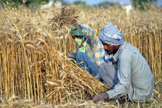 Σιτάρι: Η ινδική κυβέρνηση στο πλευρό των εγχώριων παραγωγών