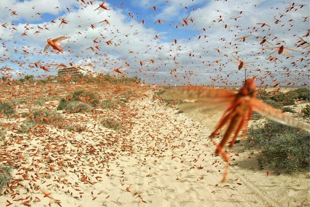 Η Ανατολική Αφρική στο έλεος των ακρίδων
