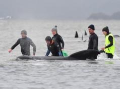 Αυστραλία: Εγκλωβισμένες 270 φάλαινες σε ακτή της Τασμανίας