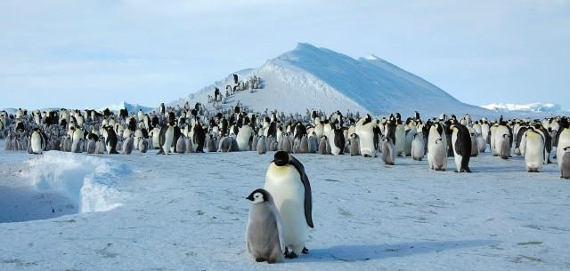 Σε κίνδυνο η βιωσιμότητα των αυτοκρατορικών πιγκουίνων