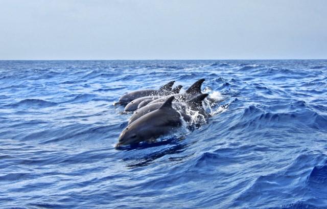 Θεσσαλονίκη: Τα δελφίνια του Θερμαϊκού καταγράφει η iSea